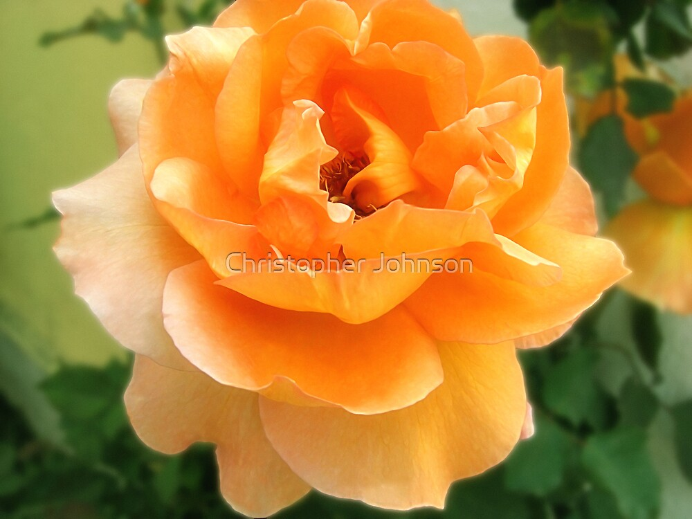 Peach Rose 3 (soft focus) by Christopher Johnson
