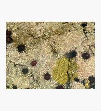 Urchins Photographic Print