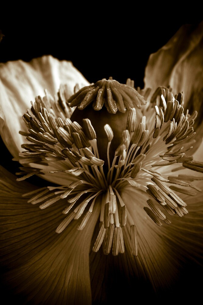 Sepia Poppy by gardenpictures