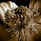 Sepia Poppy by gardenpictures