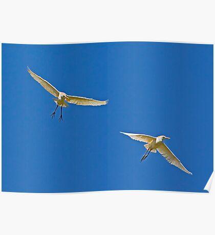 040509 Cattle Egrets Poster