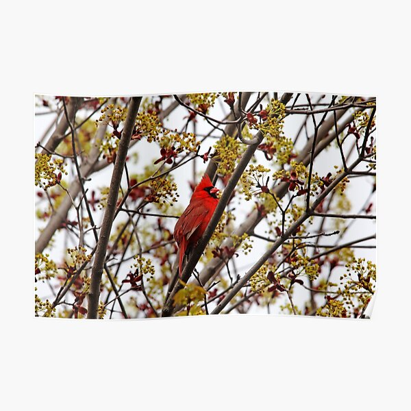 Northern Cardinal In Spring Maple Tree Poster