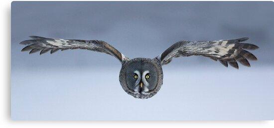 Great Grey owl in flight by wildlifephoto