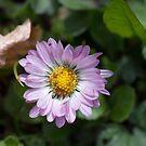 Dainty Daisy by Kasia-D