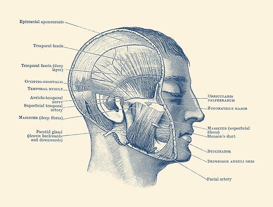 Pósters «Diagrama Muscular Facial - Anatomía Vintage» de VAposters ...