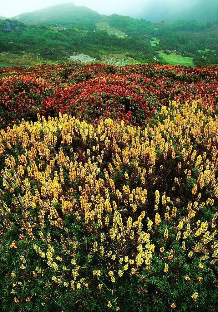 Flowering scoparia, Mount Ossa by Kevin McGennan