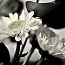 Daisy, Daisy  by Lisa Taylor