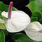 White Anthurium © by jansnow