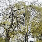 The Weeping Willow and the Lamp.... Axminster Devon UK by lynn carter