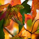 Liquidambar by ColourCottage
