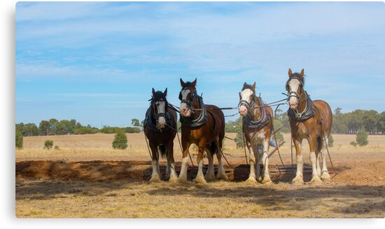 Stunning Draught Horses... by mitpjenkeating