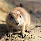 Prairie Dog by Jo Nijenhuis