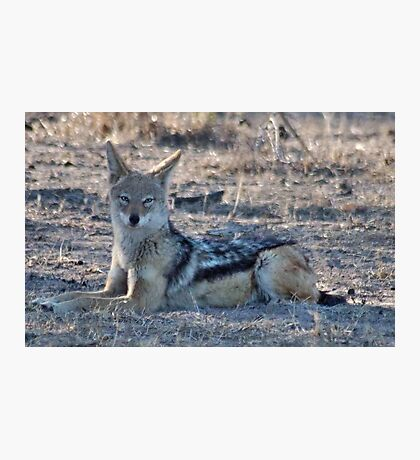 "PERFECT POSE of the ""BLACK-BACKED JACKAL"" Photographic Print"