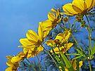 Long-Bracted Tickseed Sunflower Wildflower - Bidens polylepis by MotherNature