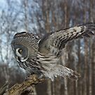 Great Grey Owl Perched on log by wildlifephoto