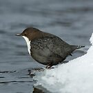 Dipper by icy river by wildlifephoto