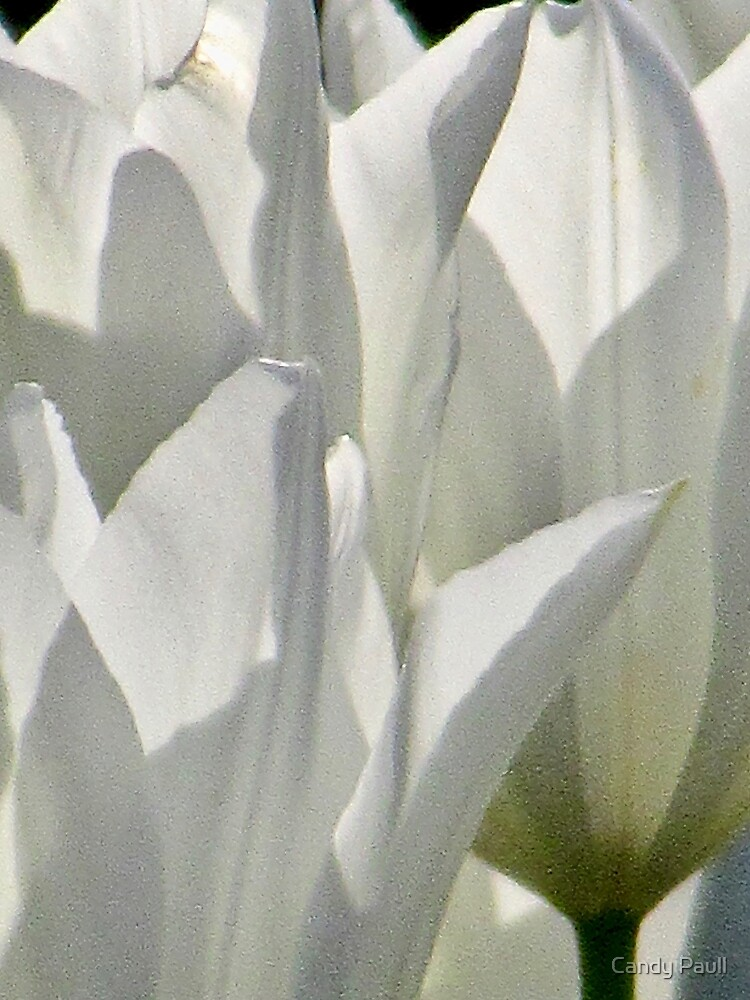 Translucent White Tulip Petals 3443 by candypaull