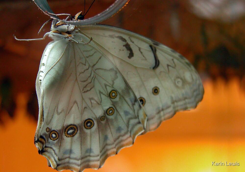Morpho polyphemus by Karin Lewis