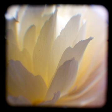 white petals ttv by adamgrahamphoto