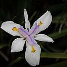 Dietes Flower Leith Park Victoria 20171219 1933  by Fred Mitchell