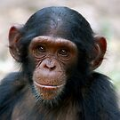 Little Chimp by ApeArt