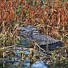 Hiding Spot For Alligator by Cynthia48