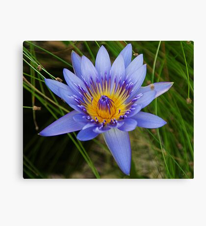 Blue Lilly Canvas Print
