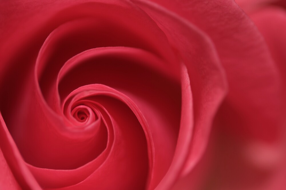 Rose Twirl by Christopher Bookholt
