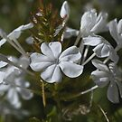 White Plumbago flowers by Joy Watson
