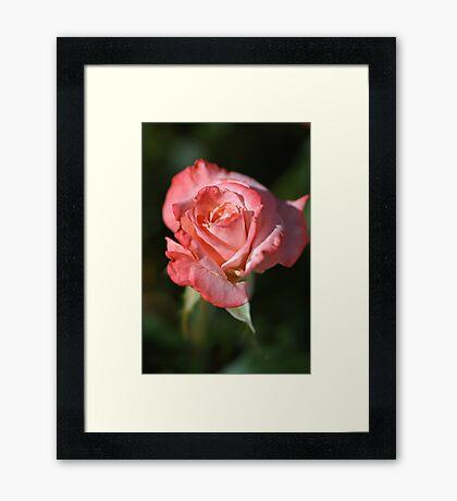 Romancing Rose Framed Print