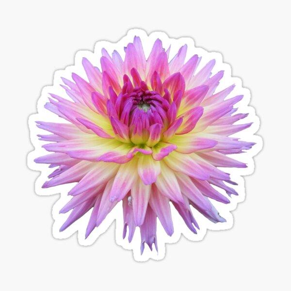 Dahlia Pink Jupiter Sticker