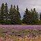 Lavender Landscapes - Lovely Lavender