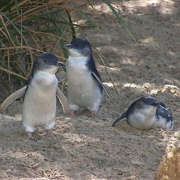Little Penguins AKA Fairy Penguins. by heyitsmefi