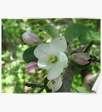 Apple Blossums  Poster