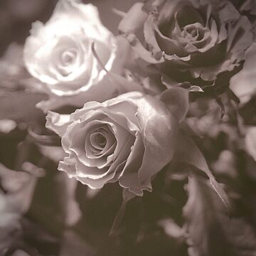 Sepia Rose by claracooper