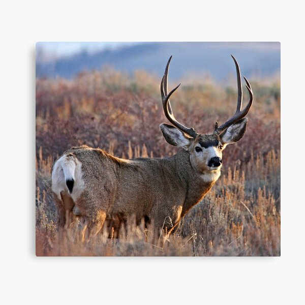 Buck, Afternoon Light in Late Fall Canvas Print