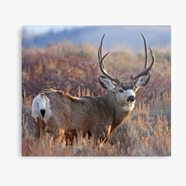 Buck, Afternoon Light in Late Fall Metal Print