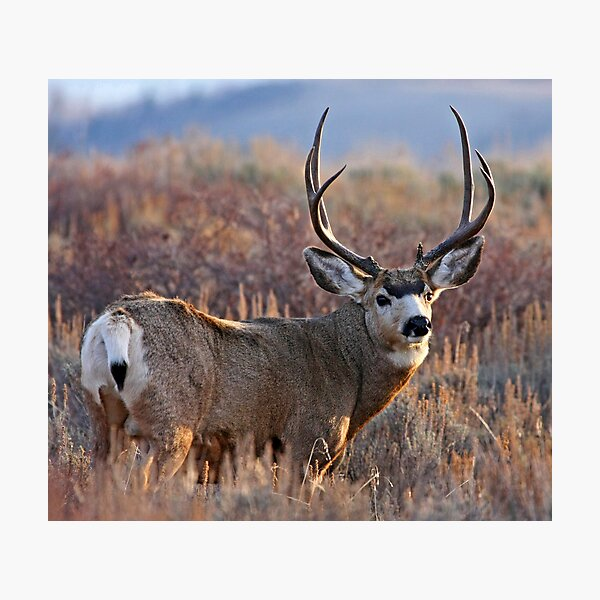 Buck, Afternoon Light in Late Fall Photographic Print