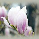 Magnolia.........Lyme Regis, Dorset UK by lynn carter