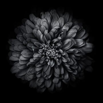 Backyard Flowers In Black And White 68 by learningcurveca