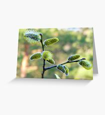 Salix Blossoms Greeting Card