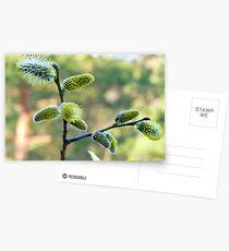 Salix Blossoms Postcards