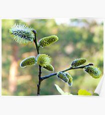 Salix Blossoms Poster