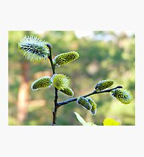 Salix Blossoms Photographic Print