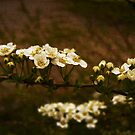 Bridal Wreath by mariarty