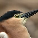 Nankeen Night Heron Look Up by Tom Newman