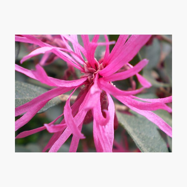 Spidery Pink Photographic Print