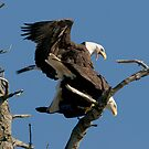 Bald Eagles Mating by David Friederich