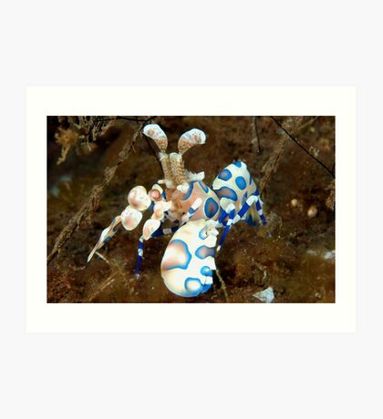 Harlequin Shrimp Art Print
