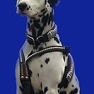 CUB Clydesdale team's Dalmation mascot by Bev Pascoe